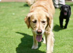 golden retriever in the play yard