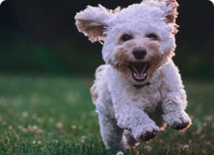 small white dog running in grass