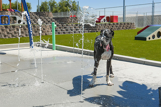 great dane playing on the splash pad