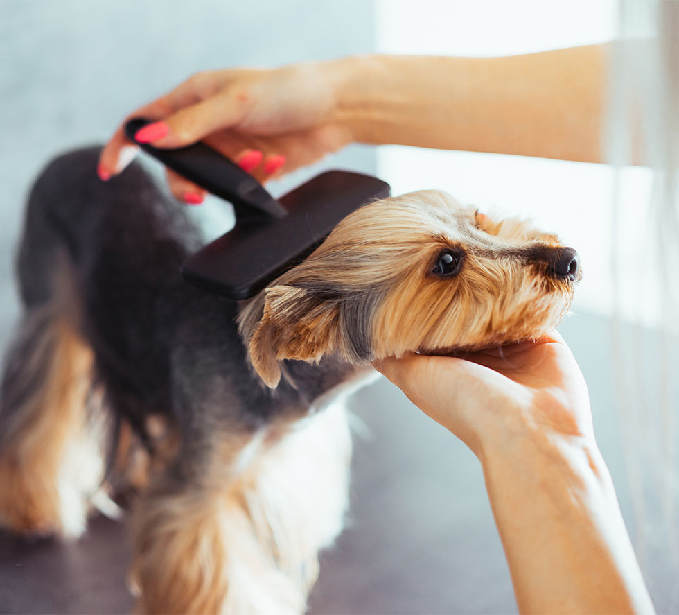 combing the head of yorkshire terrier