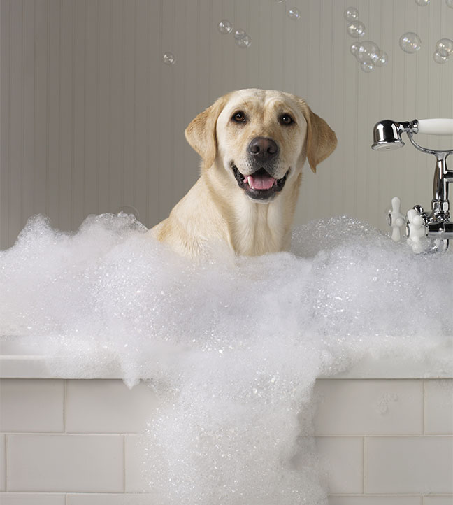 Yellow labrador smiling at the camera while getting a bubble bath